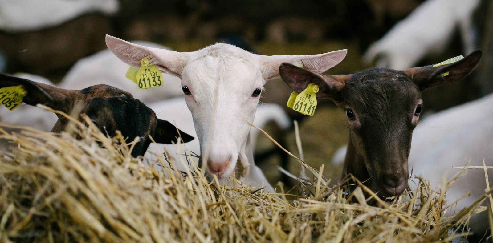 chèvres-batîment